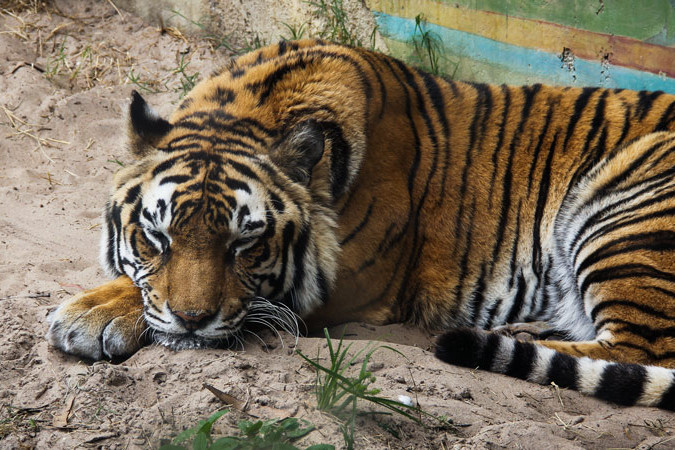 Animal Kingdom - Tiger - Guide2WDW