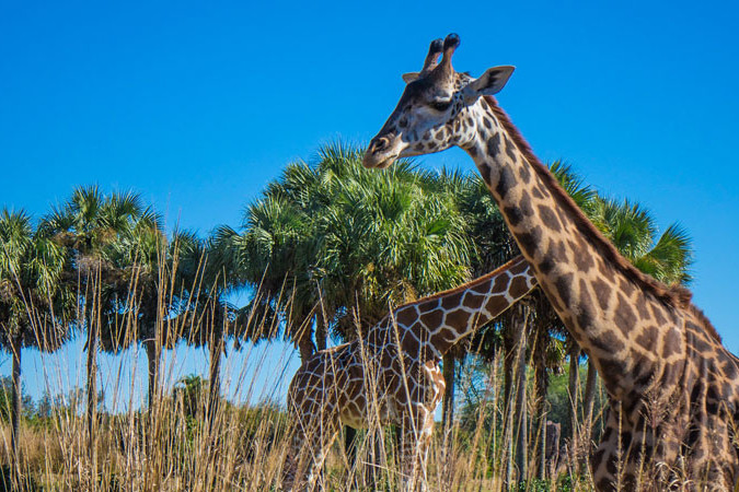 Animal Kingdom FastPass+ Tips and Guide